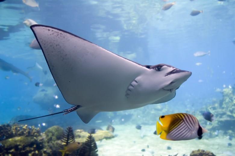 manta ray 3